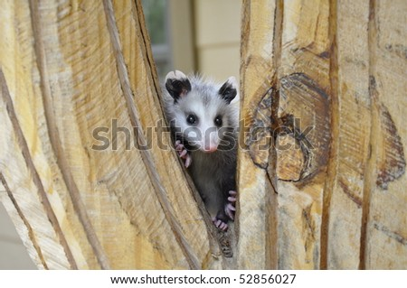 Baby Possum clinging to wood pedestal - stock photo