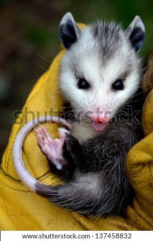 Baby Possum in Hand - stock photo