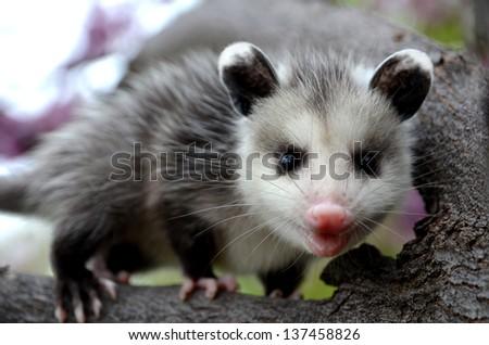 Baby Possum in Tree - stock photo