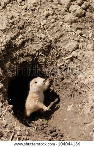 baby prairie dog - stock photo