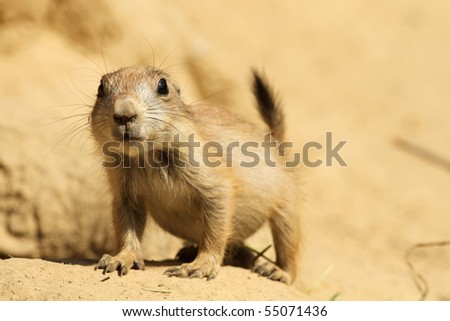 Baby prairie dog looking at you - stock photo