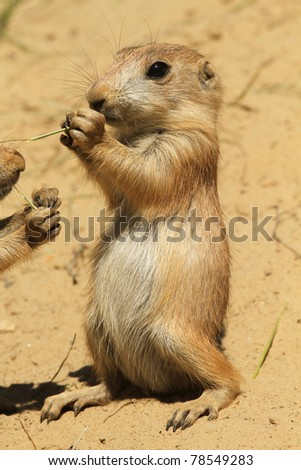 Baby prairie dog standing upright and eating - stock photo