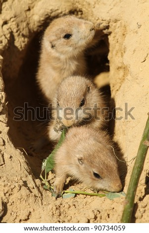 Baby prairie dogs (focus on the one in the middle) - stock photo