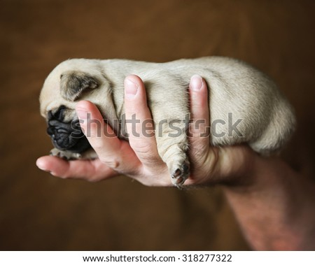baby pug chug mix puppy being held in the hand of a person on a brown background  - stock photo