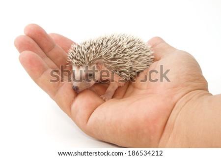 baby pygmy hedgehog - stock photo