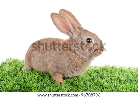 Baby Rabbit - stock photo