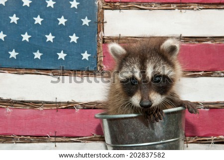 Baby Raccoon in front of the American Flag - stock photo