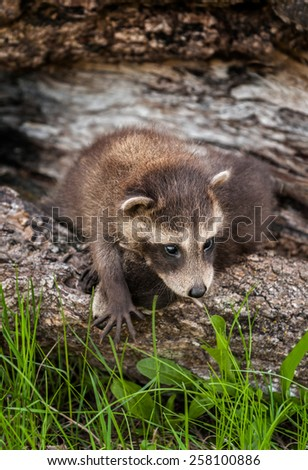 Baby Raccoon (Procyon lotor) Climbs Over Sibling - captive animals - stock photo