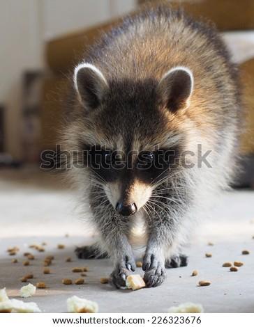 Baby Raccoon Snack - stock photo