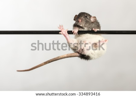 baby rat on a stick close up - stock photo