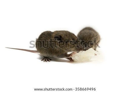 baby rats eating isolate on white background