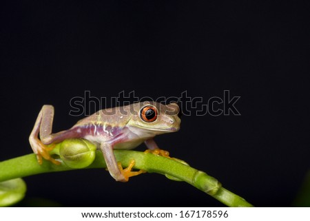 Baby Red Eyed Tree Frog on Green Stem