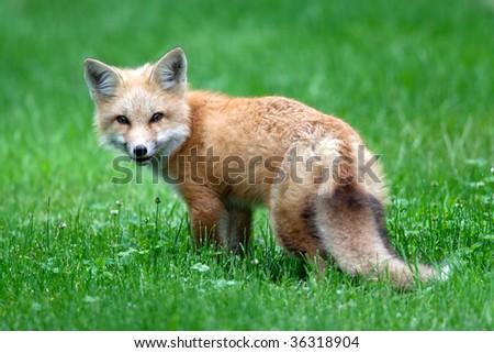 Baby Red Fox (Kit) - stock photo