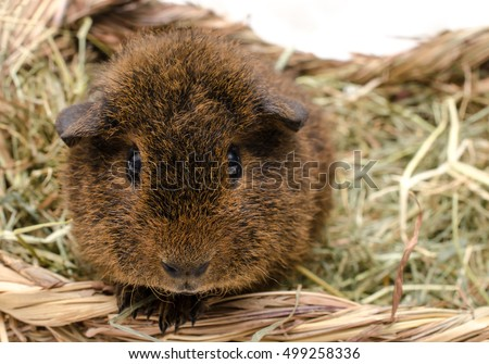 baby rex portrait (gold agouti, 7 weeks old rex guinea pig)