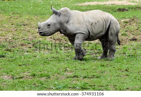Baby Rhino - stock photo