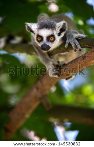 Baby Ring Tailed Lemur in Tree/Baby Ring Tailed Lemur/Baby Ring Tailed Lemur