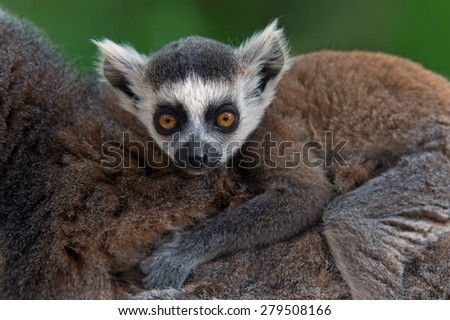 Baby Ring-Tailed Lemur on mother's back/Baby Ring-Tailed Lemur/Baby Ring-Tailed Lemur (lemur catta) - stock photo
