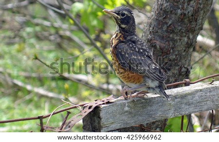 Baby Robin Bird Sitting On Fence Post Background -American robin bird sits on a fence post after leaving the nest for the very first time in Ontario, Canada. - stock photo