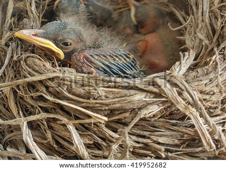 Baby Robin Birds In Nest Photo - Closeup view of a very young baby robin bird resting in a straw nest, wildlife background photo. - stock photo