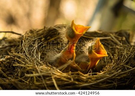 Baby robin waiting on their mother - stock photo