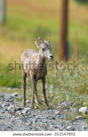 Baby Rocky Mountain Bighorn Sheep on the side of the road, Alberta Canada - stock photo