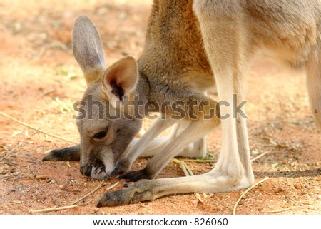 Baby Roo:  A baby kangaroo trying out a piece of grass for the first time in the Australian bush. - stock photo