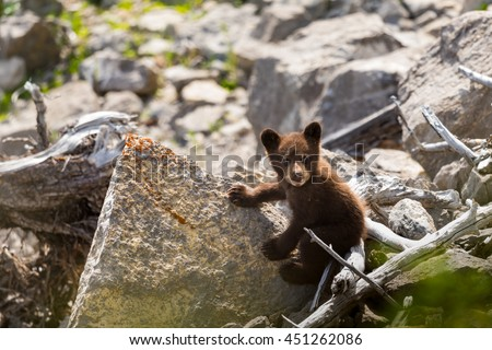 Baby rust coloured Black Bear Cub playing among rock on a lake shore, Jasper National Park Alberta Canada - stock photo