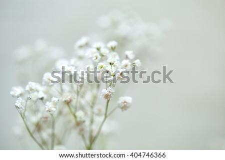 baby's breath flowers. white flowers gypsophila - stock photo