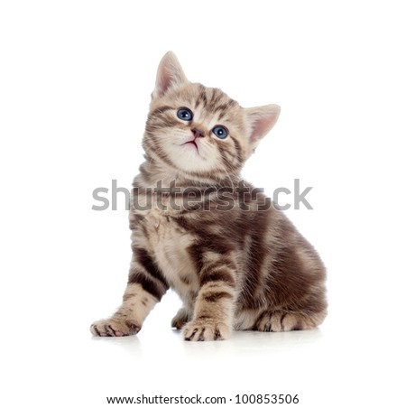 baby Scottish british kitten isolated on white background - stock photo