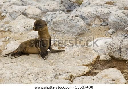 Baby Sea Lion Galapagos Island - stock photo