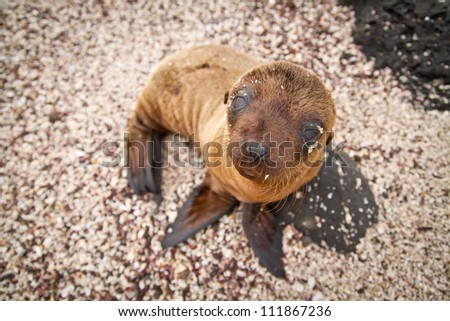 Baby sea lion in the Galapagos Islands staring at you - stock photo