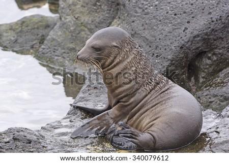 Baby Sea Lion on the Rocks on San Cristobal Island in the Galapagos - stock photo