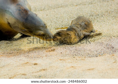 baby sea lion with mother in san cristobal galapagos islands ecuador - stock photo