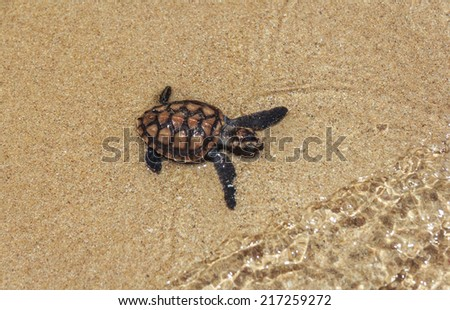 Baby Sea Turtle On The Beach - stock photo