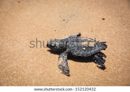 Baby sea turtle struggles to reach the sea at Praia do Forte, Bahia, Brazil. - stock photo