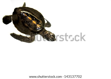 Baby sea turtles swimming in pond nursery, white background. - stock photo