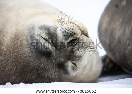Baby seal close to mom. Antarctica - stock photo