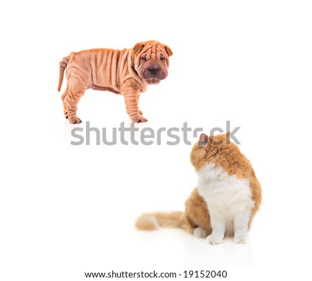 Baby sharpei staring at a cat isolated against white background - stock photo