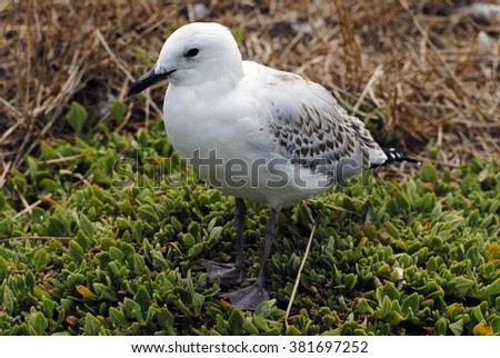 Baby silver gull on the Phillip Island. - stock photo
