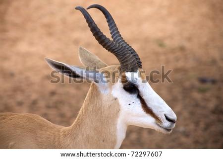 Baby Springbok in the Kalahari desert - stock photo