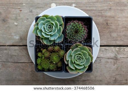Baby Succulent plant with natural light on reclaimed wood - stock photo