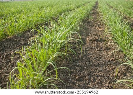 Baby sugar cane farm land Salunkwadi Maharashtra India - stock photo