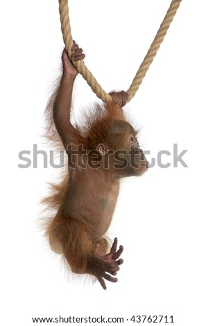 Baby Sumatran Orangutan, 4 months old, hanging from rope in front of white background - stock photo