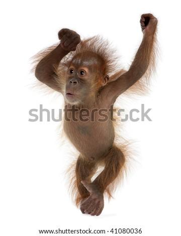 Baby Sumatran Orangutan, 4 months old, standing in front of white background - stock photo