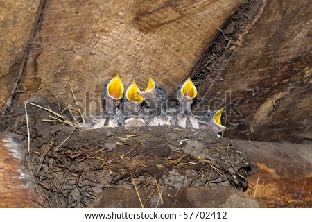 Baby swallows in nest - stock photo
