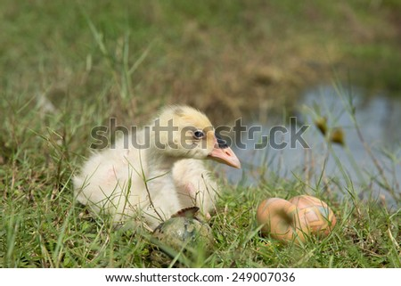 Baby swan and easter eggs. - stock photo