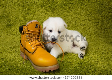 Baby swiss shepherd playing with yellow boot - stock photo