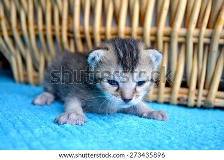 Baby tabby brown kitten on blue blanket in front of basket - stock photo