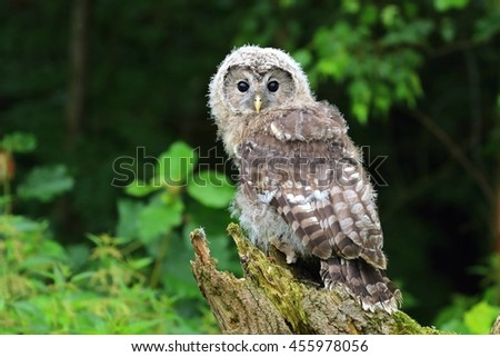 Baby tawny owl - stock photo