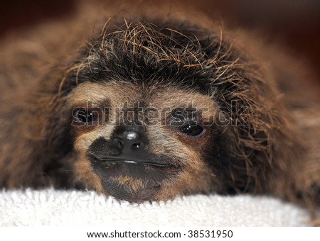 baby three toed sloth, costa rica - stock photo